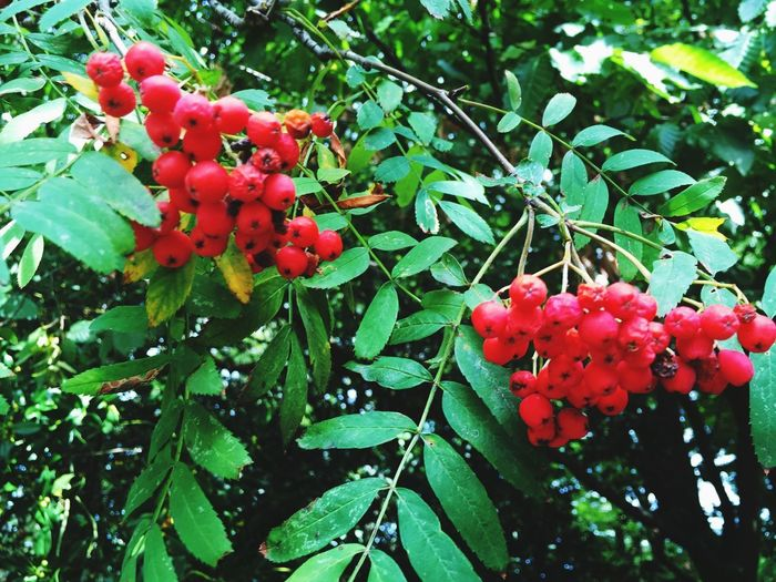 Red Growth Plant Freshness Fruit Nature Plant Part Beauty In Nature Green Color