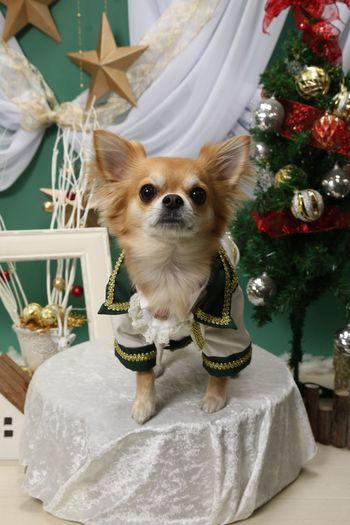 Chihuahua Family Niko Dog Pets Indoors  One Animal Domestic Animals Christmas Mammal
