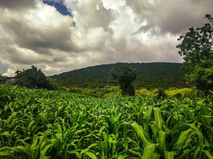 Corn field in