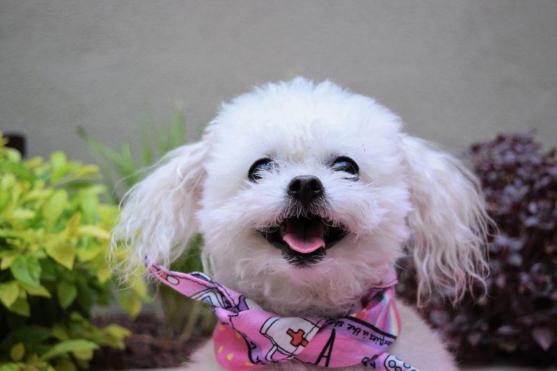 Close-Up Of Cute Shih Tzu Smiling And Wearing A Pink Bandana