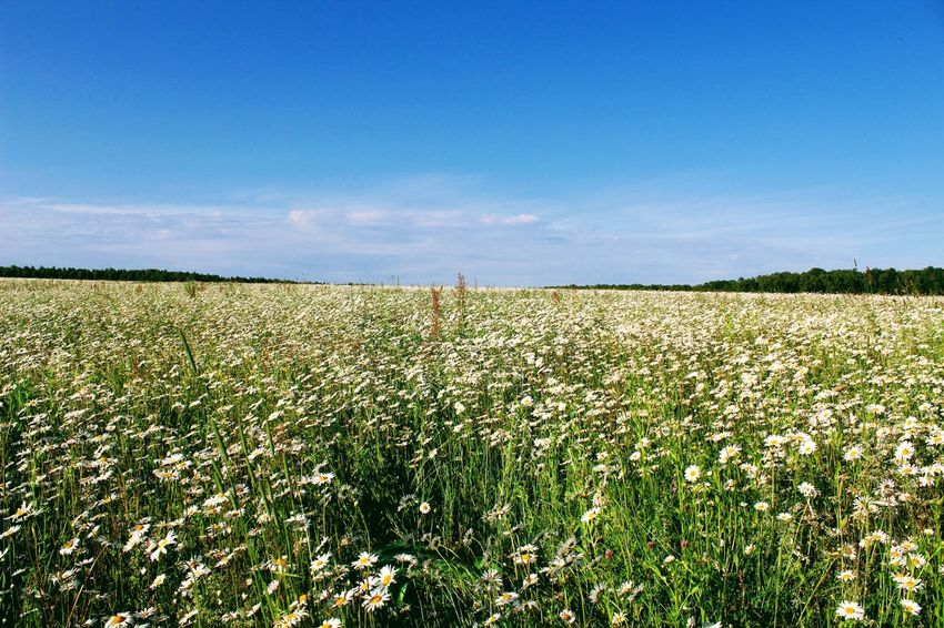 Agriculture Beauty In Nature Camomile Camomiles Cereal Plant Chamomile Chamomile Field Cloud - Sky Crop  Day Farm Field Growth Landscape Nature No People Outdoors Plant Rural Scene Scenics Sky Tranquil Scene Tranquility