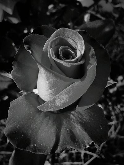 EyeEmNewHere Rose Garden Rose Petals Flower Blooming Flower Black And White Flowers,Plants & Garden Flowers, Nature And Beauty No People Nature Rose♥ Black And White Rose Blackandwhite Black & White Black And White Photography Welcome To Black
