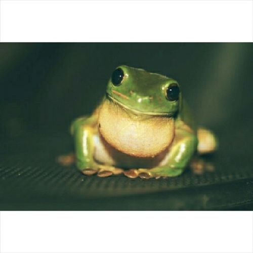 Day 24 - favourite animal. Dumpy tree frog! Hihi. They are freaking cute! Look at those eyes! :D Marchphotochallenge2014 Photochallenge March Favouriteanimal love