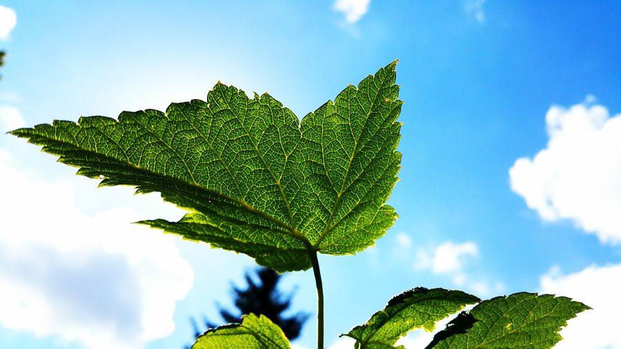 Nature Outdoor Outdoors Outside No People Beauty In Nature Plant Sunshine Summer Days Summertime Heat Holiday Vacation Rest Heatwave Leaf In Front Of The Sky Shiny Shiny Things Shiny Leaf Shiny Leaves