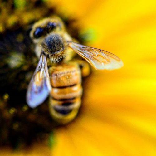 As busy as a Bee Macro Mode : ON Nikon D7200 Nikonphotography Indiaphotography India Photography Iamexclusive Iamnikon Iamshutterbug Nikkor 105mm Closeup
