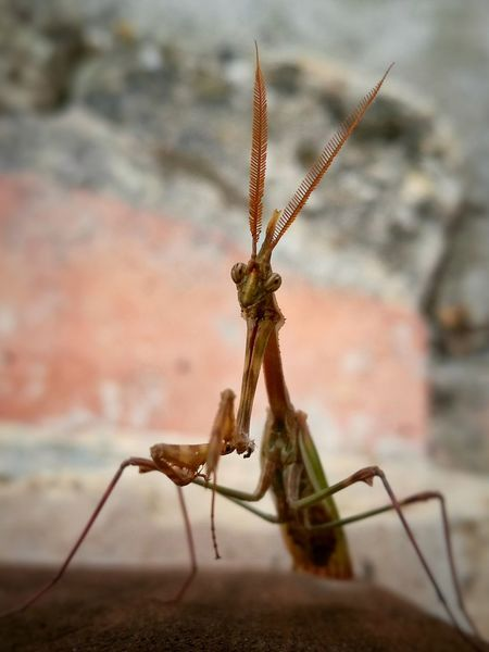Insect Animal Wildlife No People Animal Themes Day One Animal Animals In The Wild Outdoors Nature Close-up Mantis Mantis Religiosa Mantis Pose