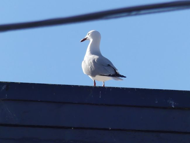 Bird Seagull Perching One Animal Outdoors No People Low Angle View Nature Nature Photography EyeEm Nature Lover Beauty In Nature Beautiful To Me Lumix FZ300