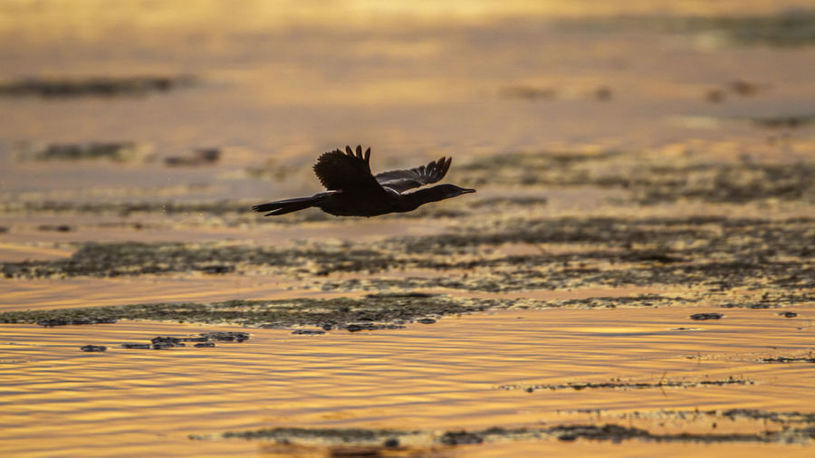 Bird flying over sea during sunset