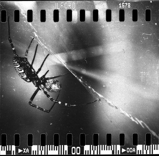 Spider Spiderweb Web Film Ilford Monochrome Blackandwhite Black & White Black And White