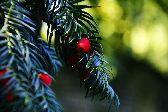 Red Spruse Tree Nikon Taking Photos Colors Green Colorful Lublin Nikonphotography Beauty In Nature