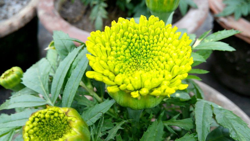 Beauty In Nature Blooming Blossom Botany Bud Close-up Day Flower Flower Head Focus On Foreground Fragility Freshness Green Color Growing Growth In Bloom Leaf Nature New Life No People Outdoors Petal Plant Selective Focus Yellow