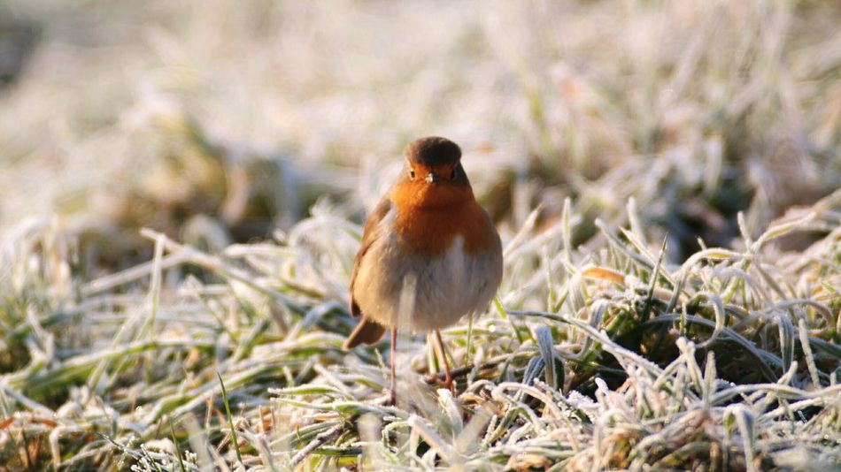 Bei dir piept es wohl!?! Animal Themes Bird Robin Redbreast One Animal Grass Nature Beauty In Nature Winter Time Cold Temperature Sunrisephotography Low Angle Of View Close-up My Point Of View Nature Idyllic Sceneries Reinheimer Teich