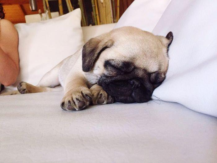 Maggie Pug Sleeping