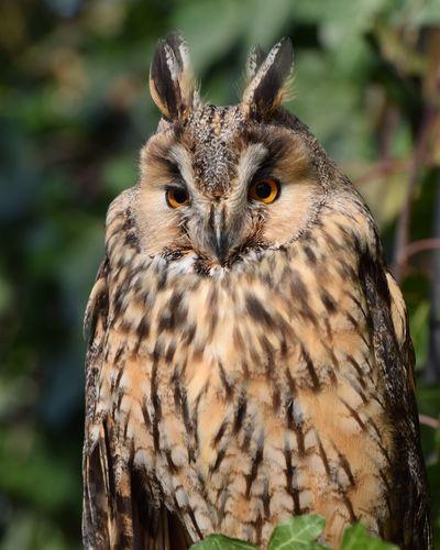 owl in one Owlsome Owlsofinstagram Owl Owls Owllover Prilaga Owllovers Owllove Beautifull