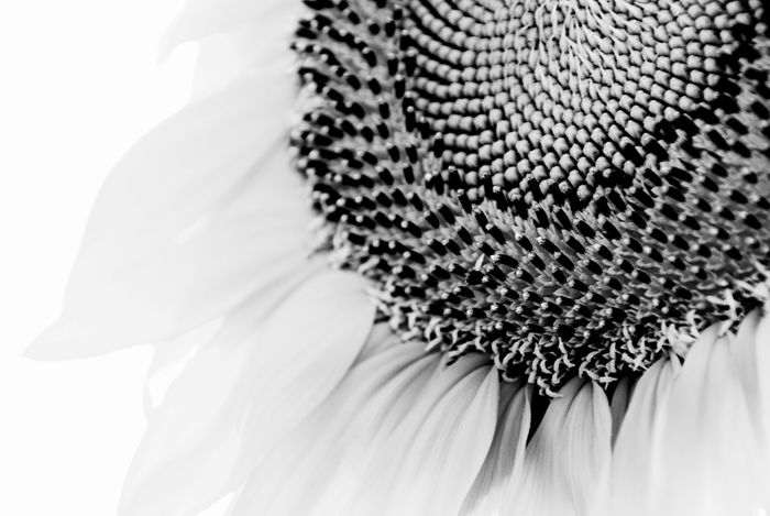 Mammoth Sunflower Head Black/white Beauty In Nature Black And White Black And White Flowers Black And White Photography Black And White Sunflower Blossom Close-up Dramatic Angels Extreme Close Up Fine Art Fine Art Photography Flower Flower Head Full Frame Mammoth Sunflower Nature Pattern Petal Pollen Selective Focus Single Flower Springtime Sunflower Sunflower Head White Background