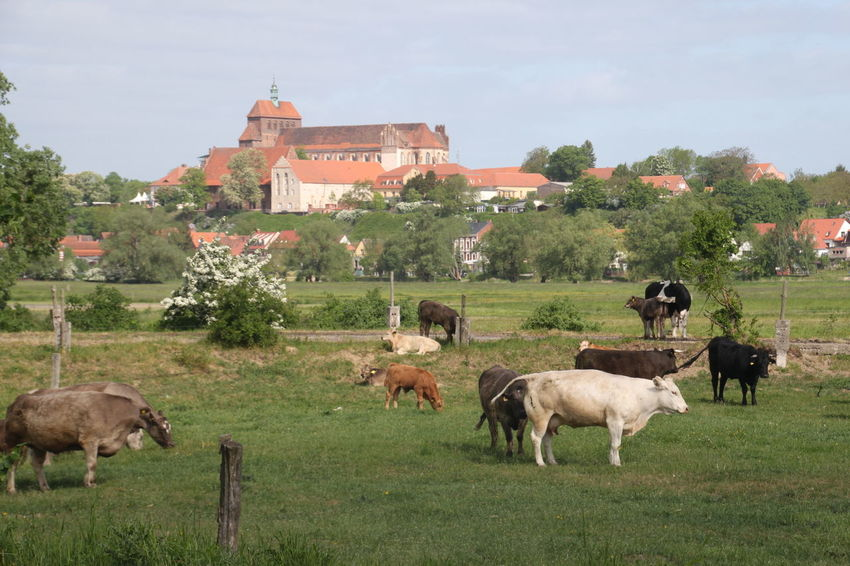 Havelberg, Germany Havelberg Cows Cows And Village Havelradweg Animal Animal Themes Building Exterior Built Structure Day Domestic Domestic Animals Field Grass Group Of Animals Land Livestock Mammal Nature No People Outdoors Sky Tree Vertebrate Settlement Grazing Cow Domestic Cattle Pasture Farm Animal The Traveler - 2018 EyeEm Awards