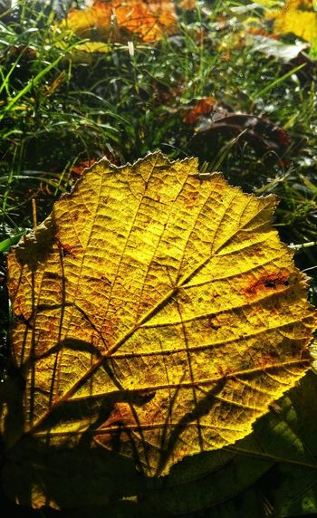 Burning Leaf Autumn Nature Change Sunlight Shining Through Leaf Herbströte Knuspriges Laub