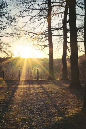 Tree Plant Sunlight Trunk Nature Tree Trunk Tranquility Landscape Beauty In Nature Tranquil Scene Sun Environment Land Sky Scenics - Nature No People Field Non-urban Scene Sunset Outdoors Lens Flare Streaming Forest