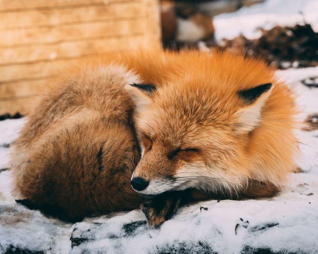 Sleepy Fox Warm