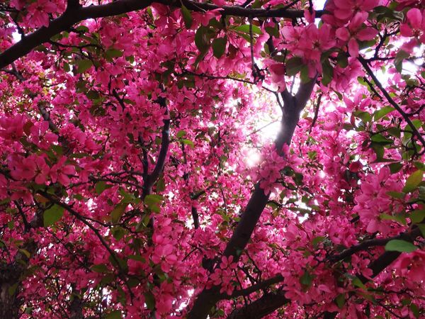 Crabapple Blossoms Springtime Pink Flower Spring Flowers Sunlight ☀
