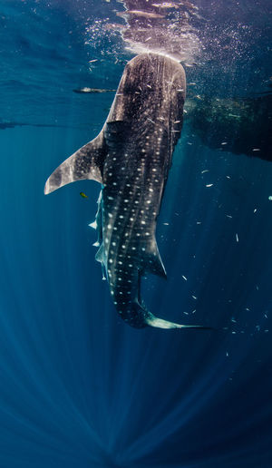 Close-Up Of Whale Shark Eating Fish In Sea