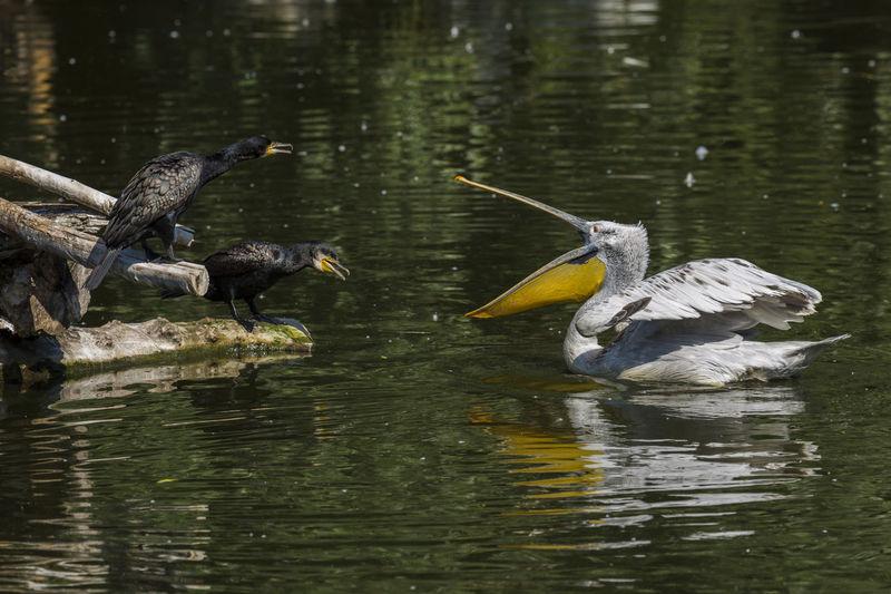 Anger Angry Birds Animal Animal Themes Animals In The Wild Bird Birds Cormoran Lake Nature Nature Diversities Pelican Quarrel Water Wildlife