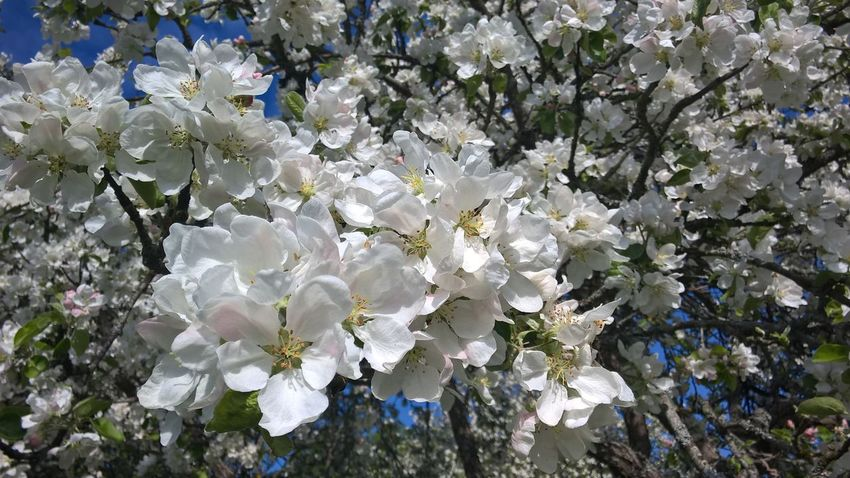 Growth Nature White Color Beauty In Nature Flower Tree Springtime Blossom No People Fragility Close-up Branch Freshness Flower Head Day Outdoors Appletree Fullframe