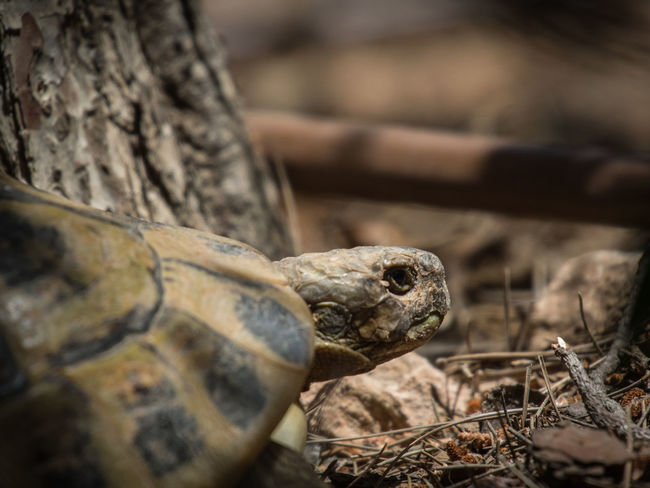 i see you Animal Themes Animal Wildlife Animals In The Wild Close-up Day Nature No People One Animal Outdoors Reptile Tortoise Tortoise Shell Turtle Turtles Wallpaper Wildlife Omd-em1