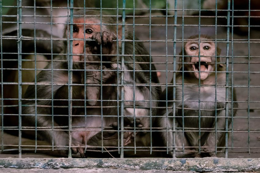 Voices Monkeys Monkey Agony Suffering Zoo Sad Loud TheWeekOnEyeEM Trapped Cage Prison Animal Confined Space Looking At Camera Prisoner Nature Outdoors Day