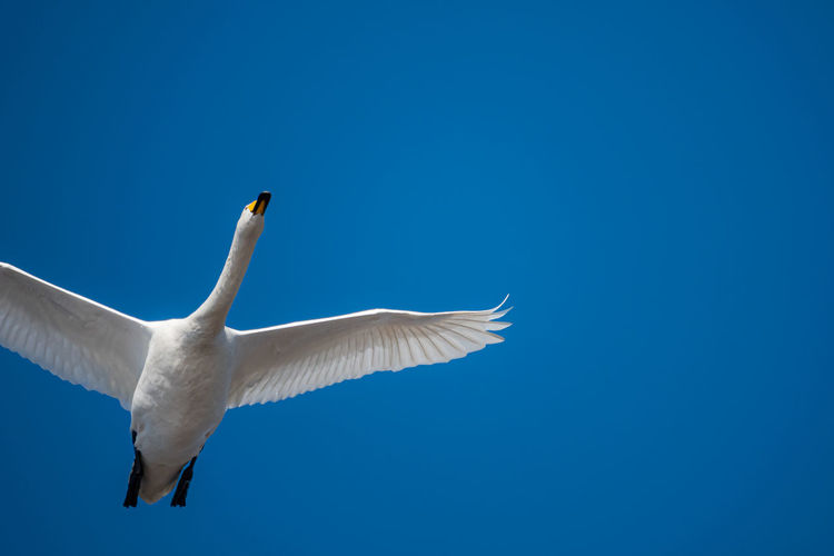 Low angle view of whooper swan flying