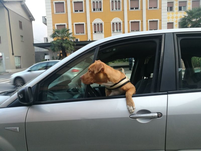 Car Transportation Dog Pets City Dog Driver hungry driver Mode Of Transport Driving By Driving In My Car Driving Car Driverslicense Driver School