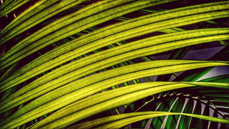Growth Green Color Nature Leaf No People Close-up Frond Outdoors Tree Palm Tree Plant Day Close Up Zimmerpflanze Room Plant Leaf 🍂 Leafporn