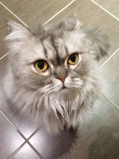 Staring Cat Persiancat Where's My Food