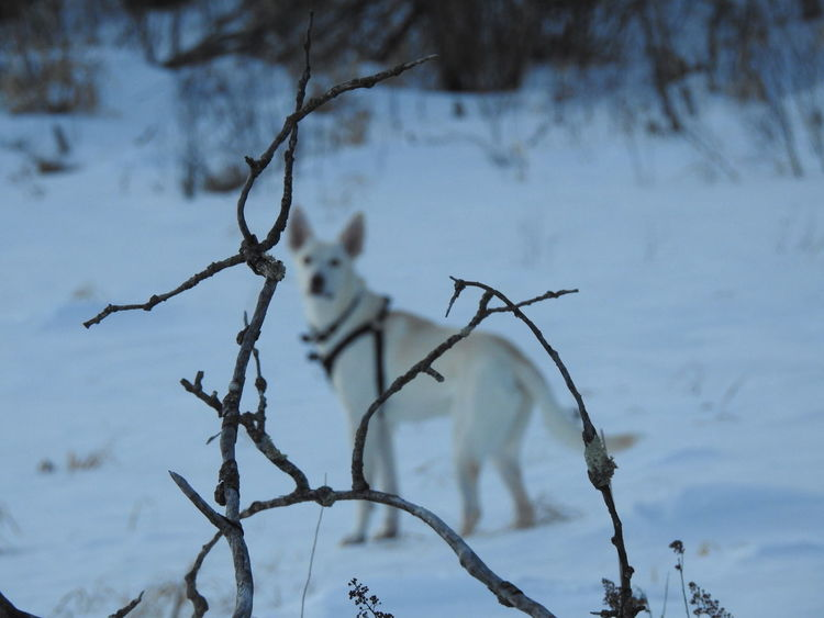 White German Shepherd Animal Themes Beauty In Nature Branch Close-up Cold Temperature Day Focus On Foreground Frozen Nature No People Outdoors Sky Snow Tree Weather Winter