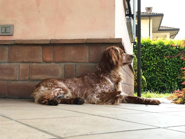 Whisky Epagneul Breton Pets Animal Dog
