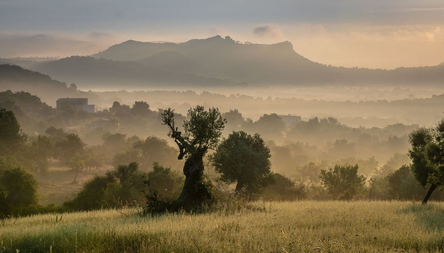 Sunrise Sunset Morning Light SPAIN Mallorca Balearic Islands Landscape Landscape_Collection Dust Dusty Mist Fog Foggy Morning Olive Tree Tree Plant Tranquility Beauty In Nature Scenics - Nature Tranquil Scene Environment Non-urban Scene Sky Land Nature Field Idyllic No People Remote Growth Mountain Outdoors Hazy  Krull&Krull Images Mallorca