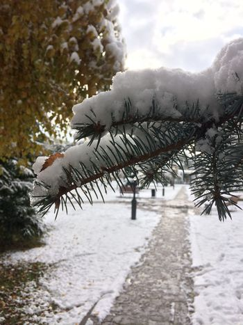 Autumn-Winter Beauty In Nature Black And White Branch Cold Temperature Day Green Growth Nature No People Non-urban Scene Novokuznetsk Pine Tree Scenics Siberia Sky Snow Snow ❄ Snowing Tranquil Scene Tranquility Tree Way Winter