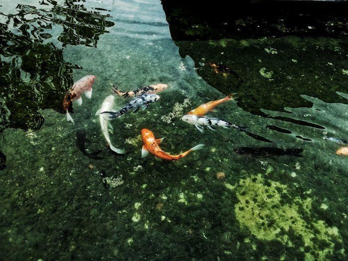 Vida en el resort Sea Life Water Swimming Underwater Carp High Angle View Fish Koi Carp UnderSea Close-up Pond Aquarium
