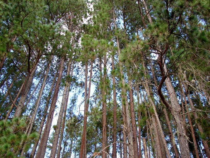 Low angle view of pine trees in forest