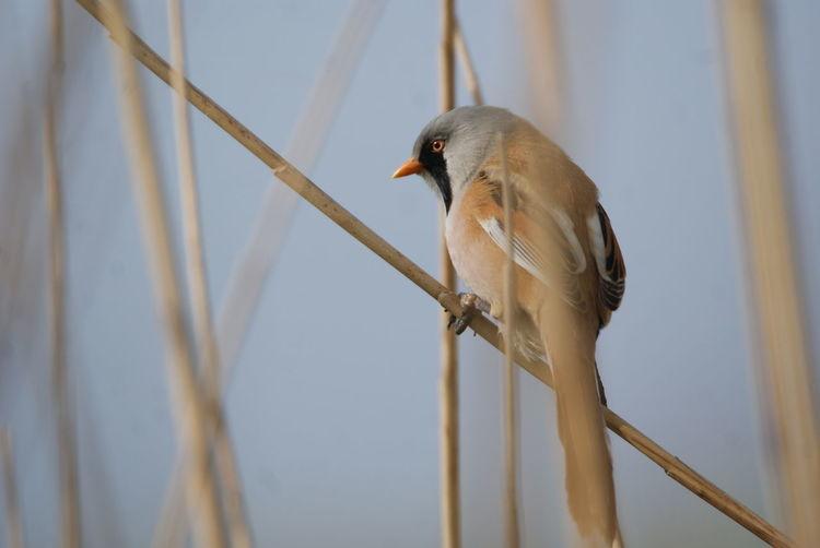Bartmeise Vogel