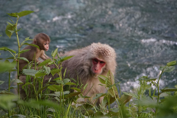 EyeEm Best Shots EyeEm Nature Lover Eye Em Nature Lover Japanese Macaque Baboon Ape Young Animal Friendship Red Hot Spring Monkey
