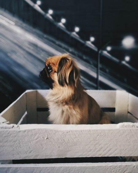 EyeEm Selects Dog One Animal Pets Day Pekingese Dog MyDarling  Animal Pet The Week On EyeEm