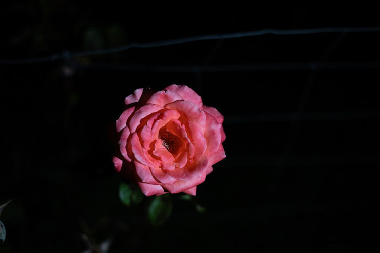 Friendship Leaves Nature Closeup Hobby Rosé White Background Valentine Floribunda Blossom Green Gift Hybrid Tree Rose Spring Gardening Isolated Beautiful Love Petal Floral Symbol Plant Low Key Night Summer Dark Rosa Bright Passion Flower Cable Metalic Wire Black Pink