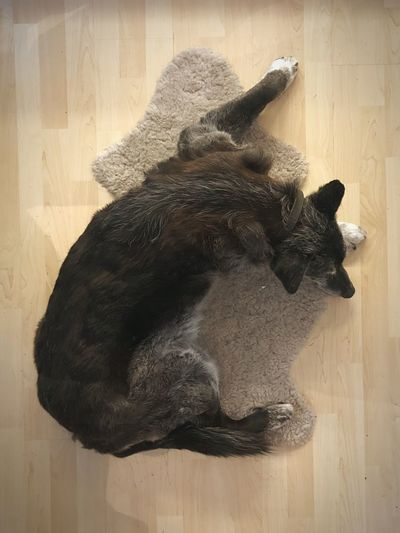 Dog Animal Domestic Animals Feline Pets One Animal Flooring
