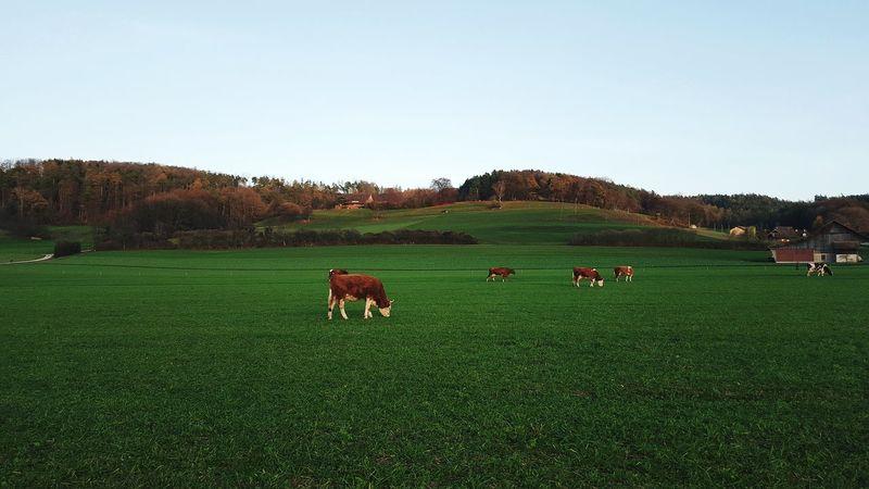 Cows Farmland Switzerland Nature Rural Landscape Eyeemawards16