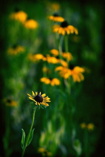 black-eyed susans Black-eyed Susans