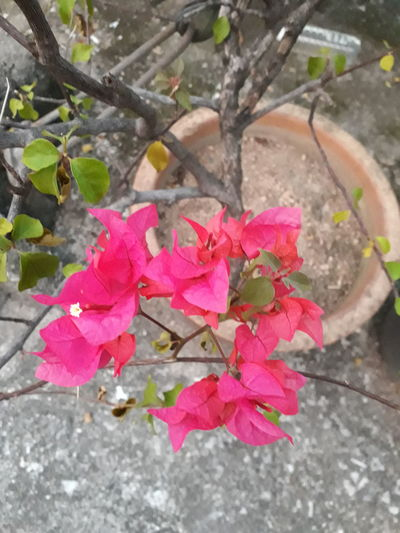Bougainvillea Bougainvillea Bougainvillea Flower Bougainville Bougainvilleas Bougainvillea Red Flower Bougainvillea Spectabilis Bougainvillea Blossom Bougainaillea Hybrid Bougainvillea Plant Bougainvillea In Pot Leaf Water Pink Color Outdoors Day No People High Angle View Nature Wet Plant Growth Beauty In Nature Flower Cold Temperature Close-up Fragility Freshness Flower Head Periwinkle