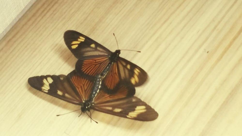 Borboletas Butterfly