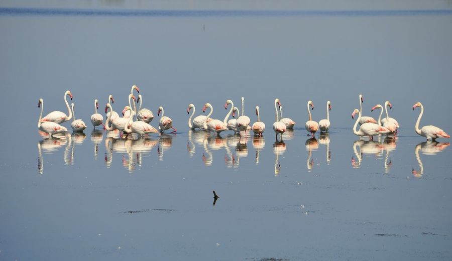 Flamingos standing in lake