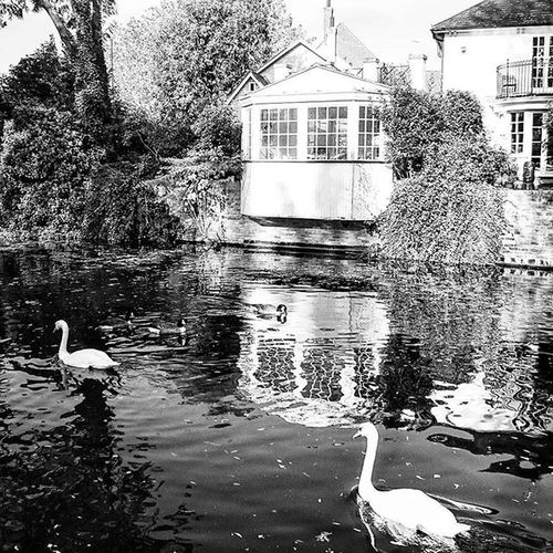 Trev and Simon, the two Swans.. Swan Swans Bw Blackandwhite Ware Hertfordshire Nature Birds Picoftheday Picturesque Waterhut Canal Water ican Capture Snapshot Sonyxperia Xperiaz3